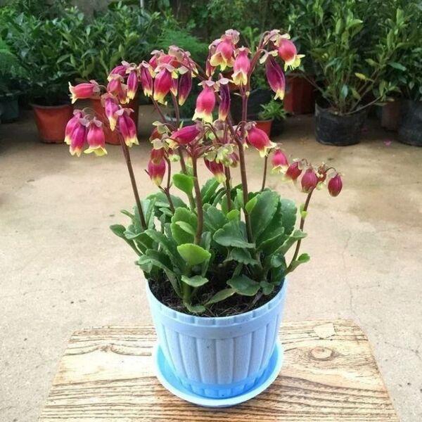 Kalanchoe Wendy Flowers (Kalanchoe manginii)