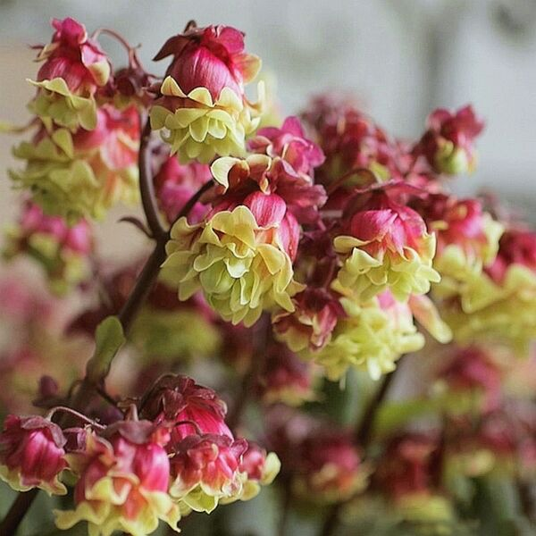 Beach Bells (Kalanchoe manginii 'Wendy Sunny Balloon')