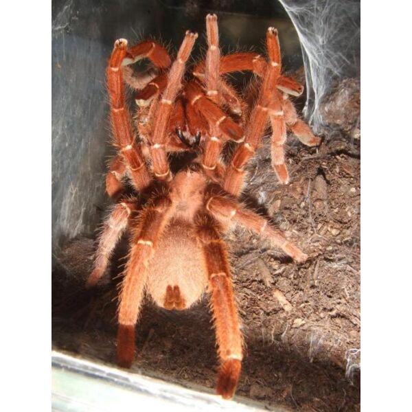 King Baboon Tarantula (Pelinobius muticus)