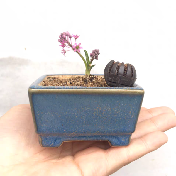 Ledebouria cooperi | House Plant