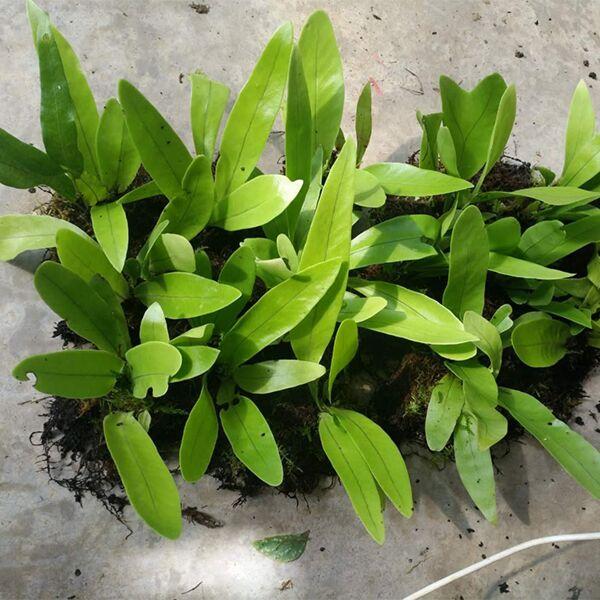 Lemmaphyllum sp.