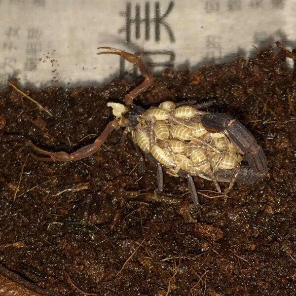 Lychas Spec Scorpion