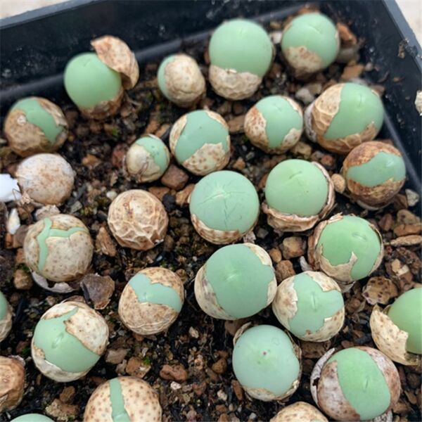Mabel Buttons (Conophytum calculus)