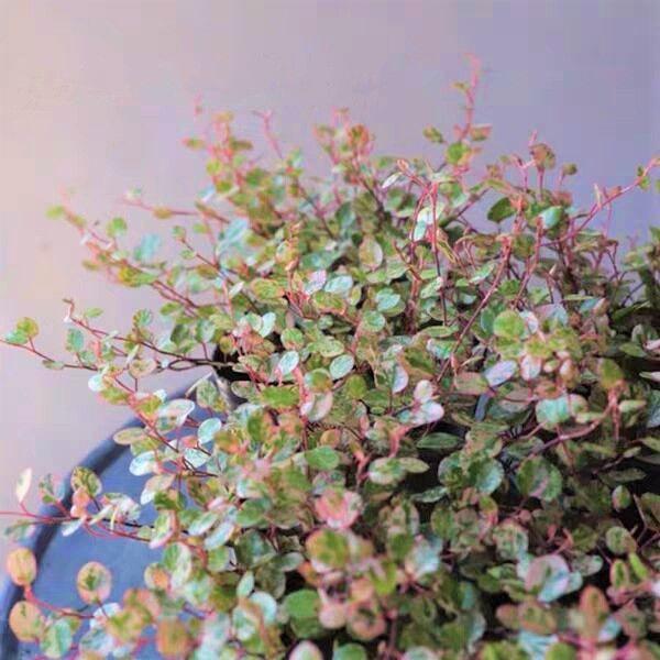 Maidenhair Vine ( Muehlenbeckia complexa ' Spotlight ' )