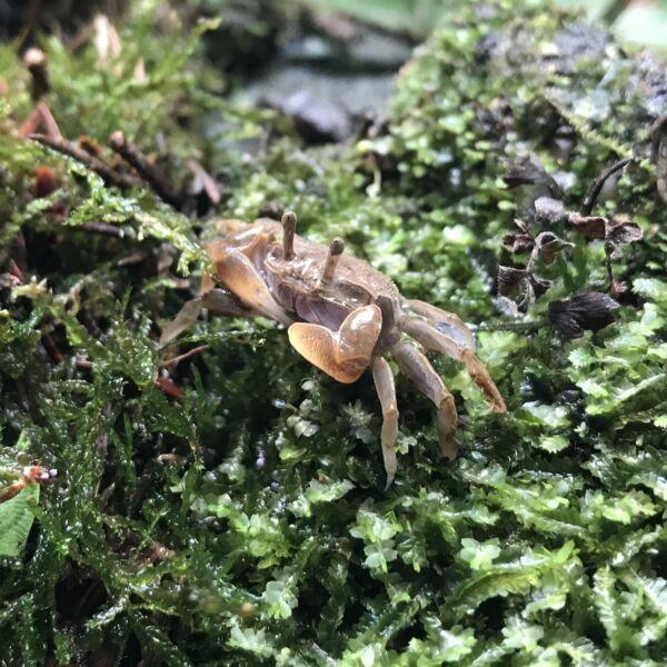 Mini Chili Crab (Llyoplax sp)