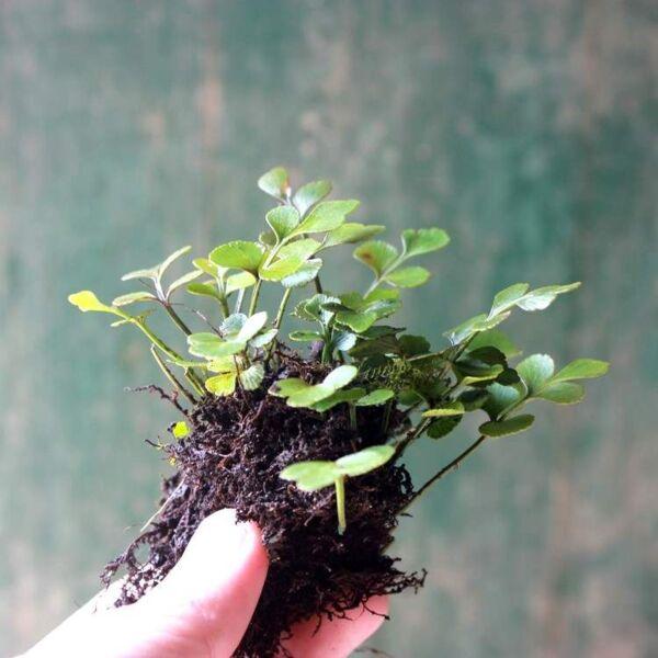 Mini Maidenhair spleenwort