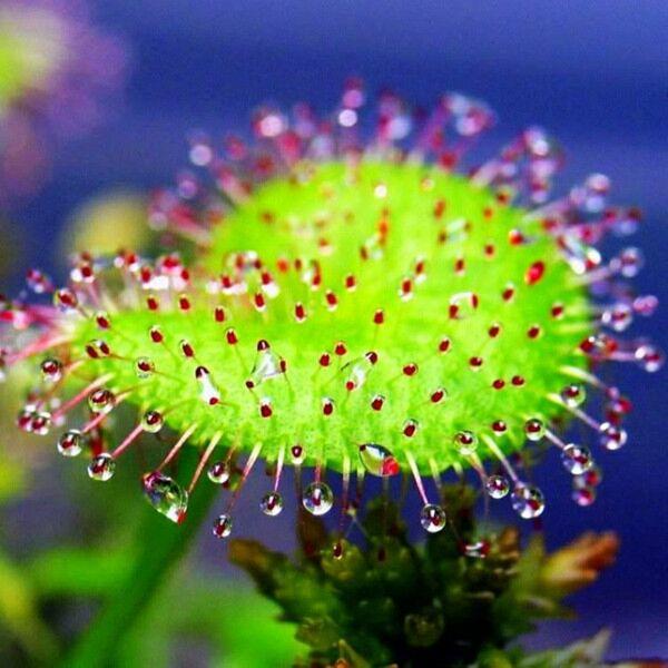 Sundews ( Drosera prolifera )