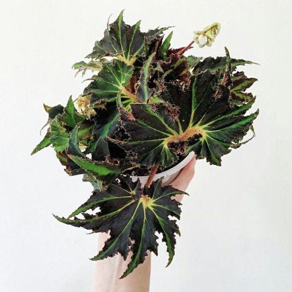 Begonia 'Break Dance'