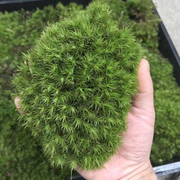 Mood Moss ( Dicranum Scoparium )