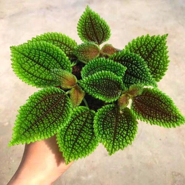 Moon Valley Pilea (Pilea mollis) | Terrarium Plant
