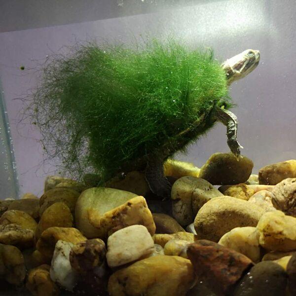 Moss Back Turtle - Red-eared Slider (Trachemys scripta elegans)
