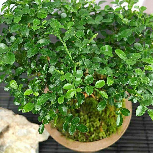 Murraya Microphylla Bonsai(Murraya microphylla)