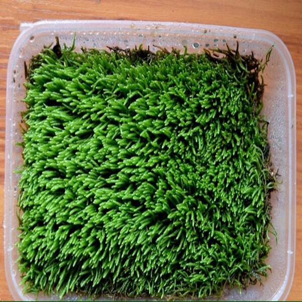 Myuroclada Moss ( Myuroclada maximowiczii )