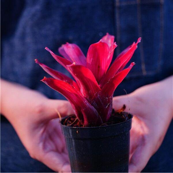 Bromeliad (Neoregelia 'Fireball')