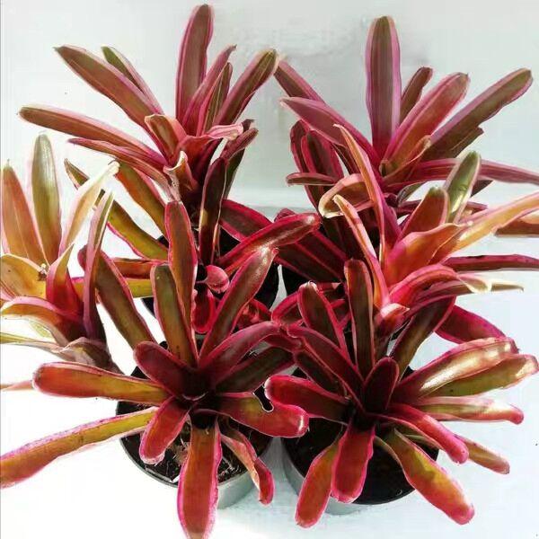 Bromeliad (Neoregelia 'Pink  Powder')