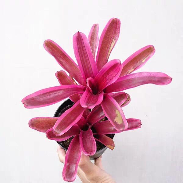 Bromeliad ( Neoregelia ' Pink  Powder ' )