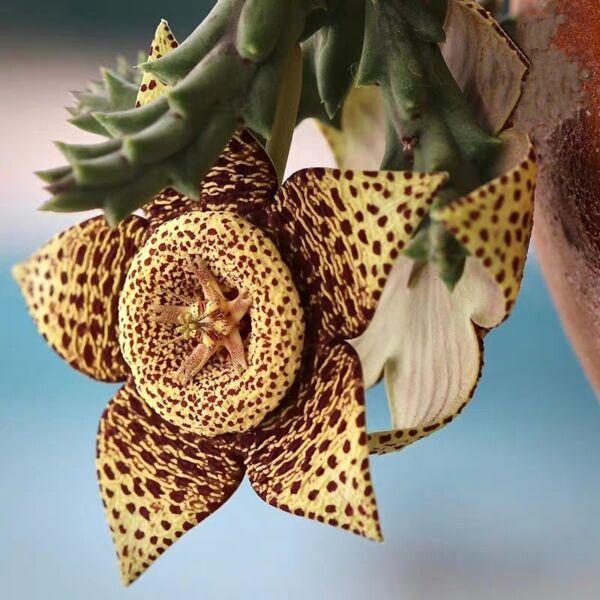 Orbea variegate