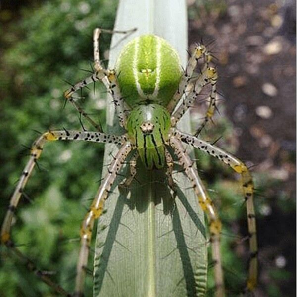 Lynx Jumping Spider (Oxyopes daksima)