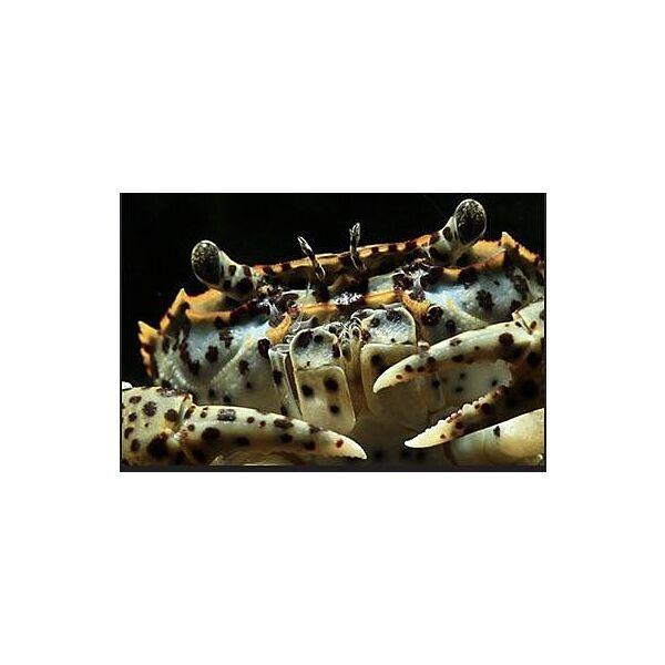 Oriental Panther Crab (Parathelphusa pantherina)