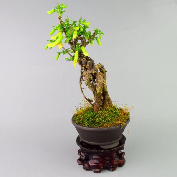 Parochetus Communis Bonsai(Parochetus communis)