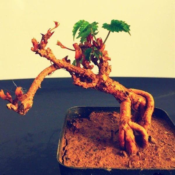 Parthenocissus Tricuspidata Bonsai(Parthenocissus tricuspidata)