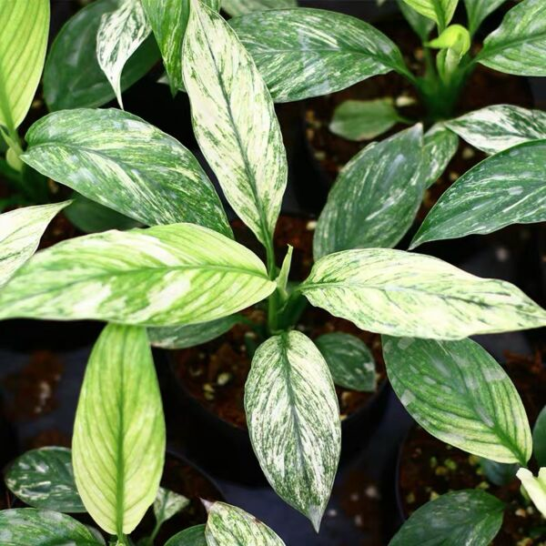 Peace Lily ( Spathiphyllum Sensation Variegated )