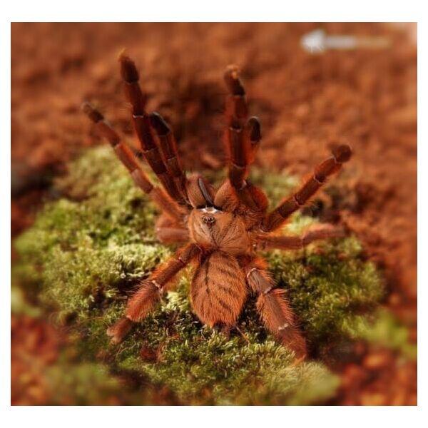 Peach Earth Tiger Tarantula (Phormingochilus sp rufus)