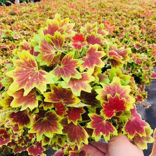 Pelargonium 'Vancouver Centennial'