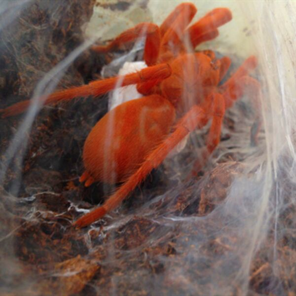 Philippine Tangerine Tarantula (Orphnaecus philippinus)