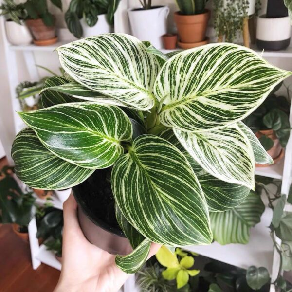 Philodendron ' Birkin ' ( Philodendron sp )