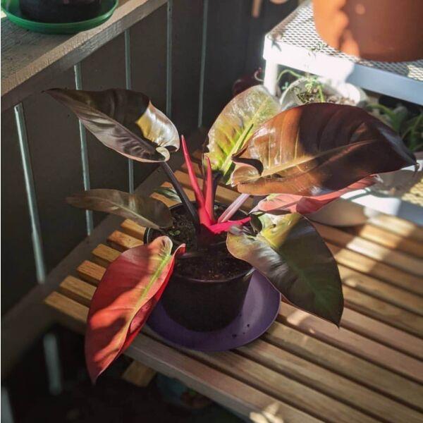 Philodendron ' Black Cardinal '