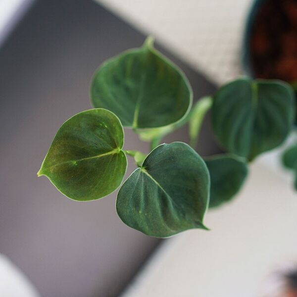 Philodendron lupinum