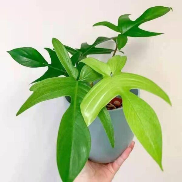 Philodendron 'Florida green'