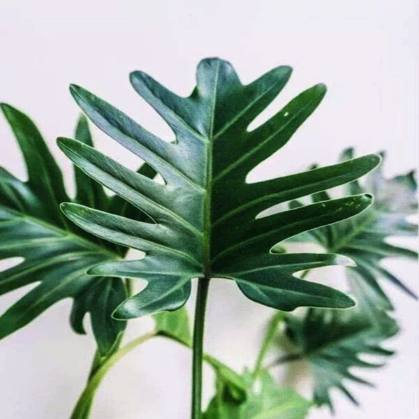 Philodendron Winterbourn ( Philodendron Xanadu )