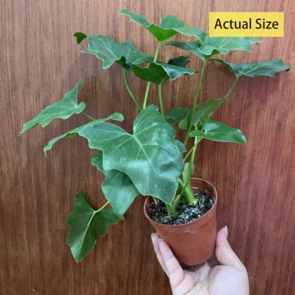 Philodendron selloum koch