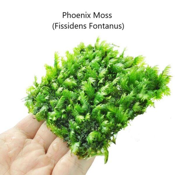 Phoenix Moss (Fissidens fontanus)