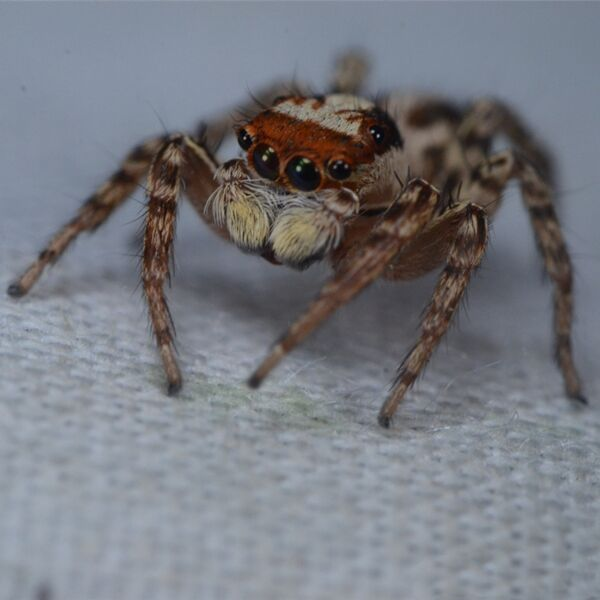 Green Eyes Jumping Spider (Plexippus petersi)