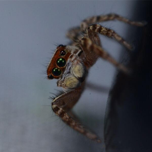 Green Eyes Jumping Spider (Plexippus petersi)