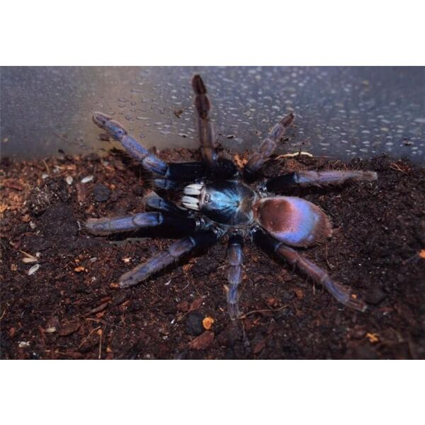 Polychromatic Earth Tiger Tarantula (Thrigmopoeus psychedelicus)