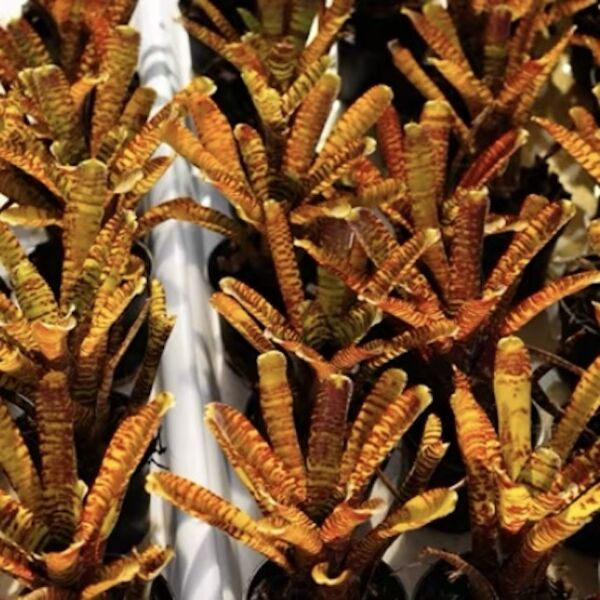Popoki (Bromeliad  neoregelia)