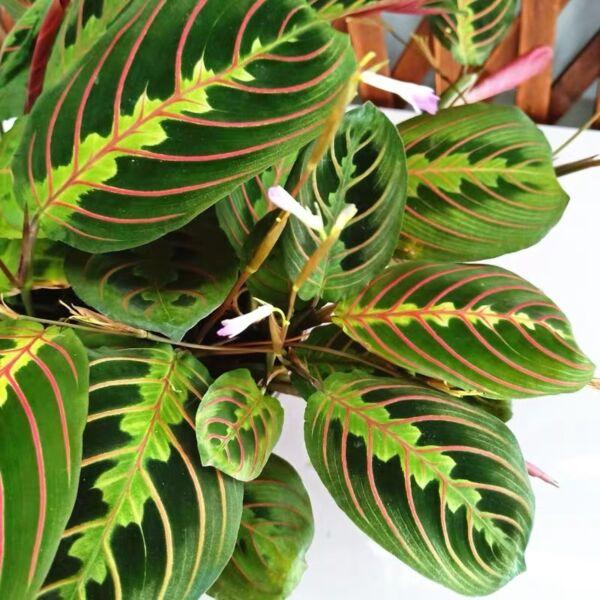 Prayer Plant (Maranta leuconeura var.erythroneura)