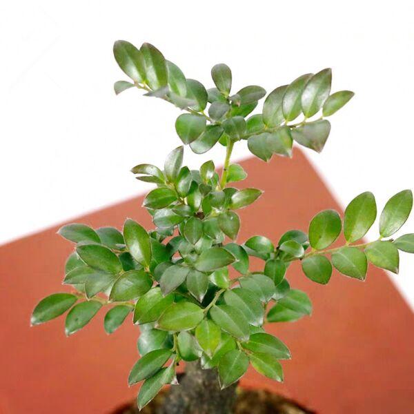 Diospyros Bonsai(Diospyros vaccinioides lindly)