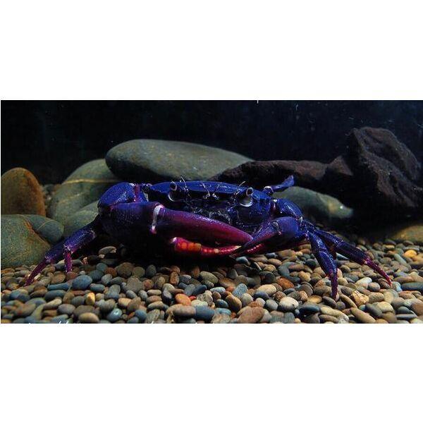 Purple Samurai Crab (Somanniathelphusa sinensis)