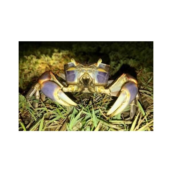Purple Sesarmid Crab (Sesarmops intermediumi)