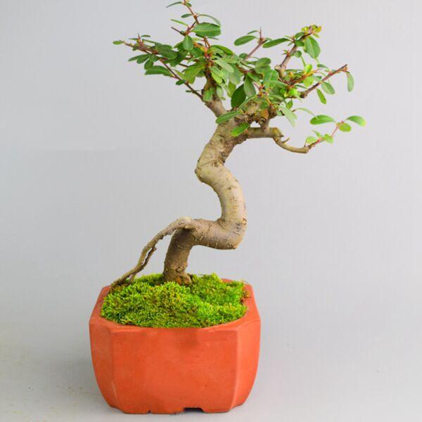 Pyracantha Fortuneana Bonsai ( Pyracantha fortuneana )