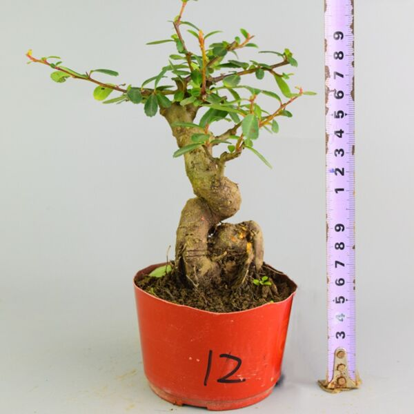 Pyracantha Fortuneana Bonsai(Pyracantha fortuneana)