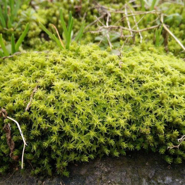 Racomitrium Moss ( Racomitrium canescens )