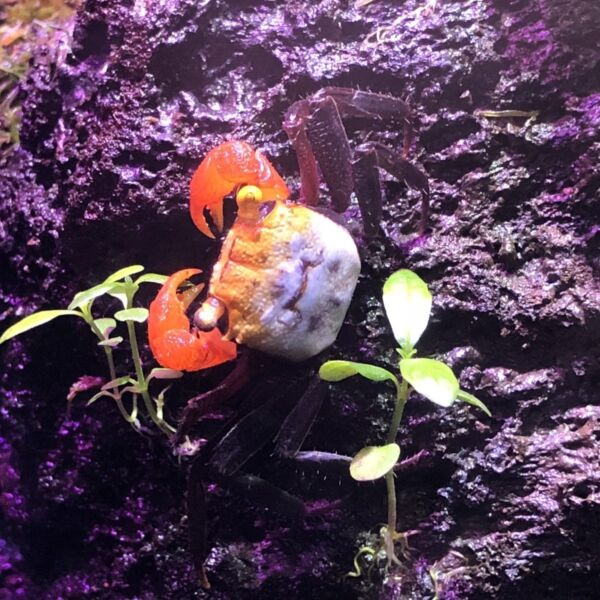 Rainbow Vampire Crab (Geosesarma rouxi)