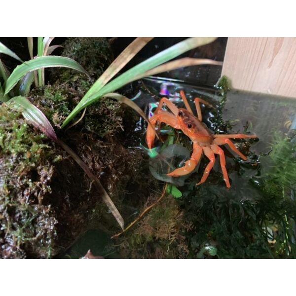Red Orange Lightning Crab (Tiwaripotamon vietnamicum)