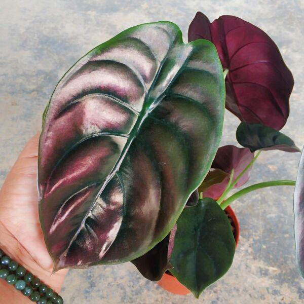 Red Secret ( Alocasia cuprea red )